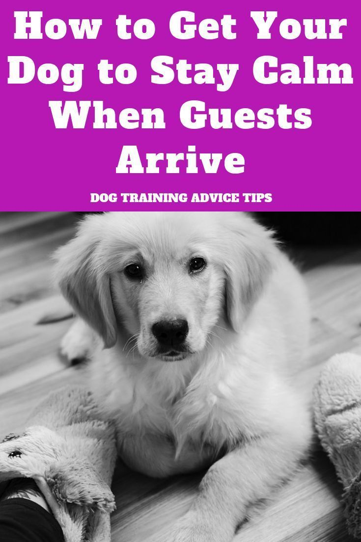 How To Get Your Dog To Stay Calm When Guests Arrive Training