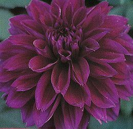 Thomas Edison Bfd Introduced In 1929 Very Striking 8 Blooms Are A Dark Purple Probably The Most True Dark Purple We Dahlia Flower Flowers Purple Flowers
