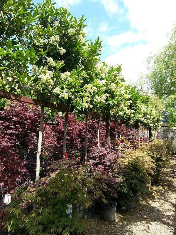 Viburnum tinus eve price full standard trees for sale uk for Small garden trees for sale