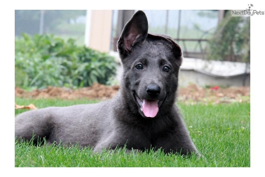 Blue German Shepherd German Shepherd Puppy For Sale Near