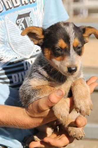 7 Pure Australian Cattle Dog Puppies For Sale Born 30 12 2015 4 Girls 2 Red 1 Stumpy And Australian Cattle Dog Blue Heeler Red Heeler Puppies Family Dogs