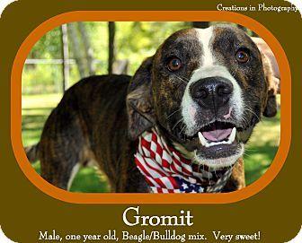 Standish Mi Beagle American Bulldog Mix Meet Gromit A Dog For Adoption Kitten Adoption Pets American Bulldog Mix