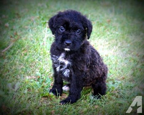 Boxerdoodle Registered Puppies Puppies Puppies For Sale Pets