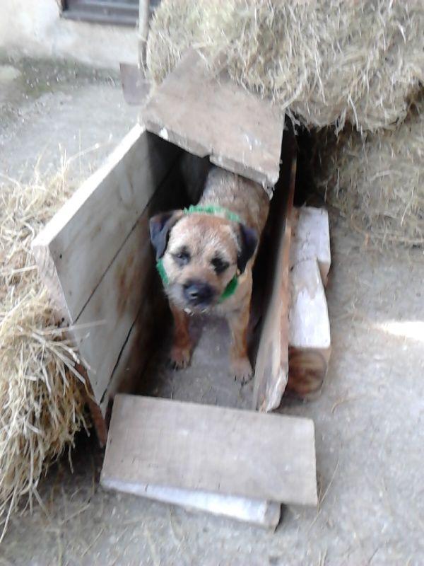 Earthdog Border Terriers Ch Stonechester Apostraphe Von Jrasamuyr