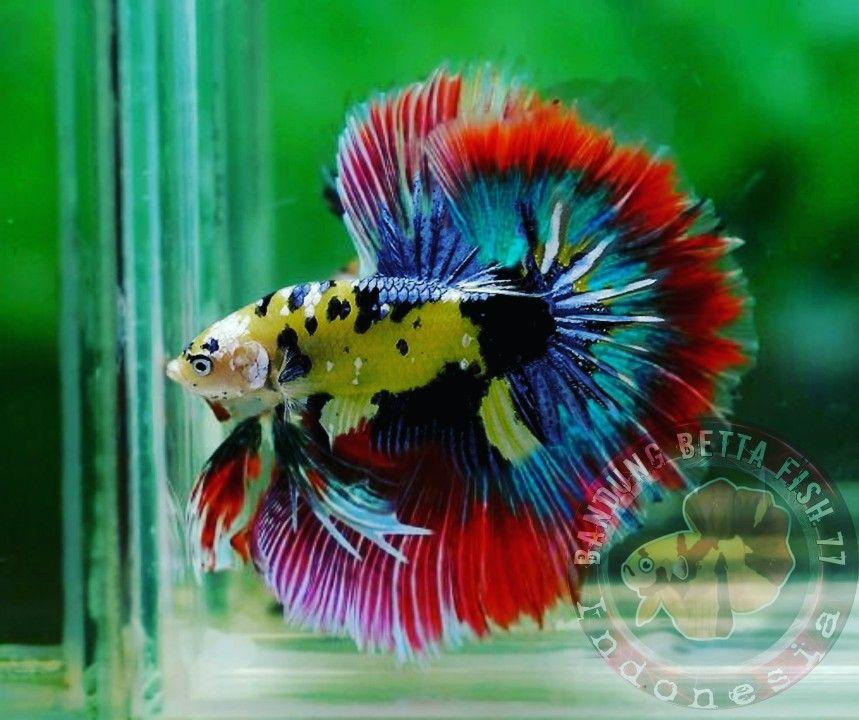 Pin By Bandung Betta Fish On Juni 2020 Betta Fish Beta Fish Betta Betta fish wallpaper gif pin on exotic