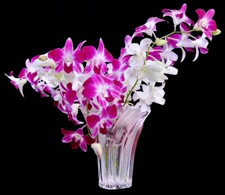 Dendrobium Orchid Flowers In Patan Maharashtra India Sheri Farms