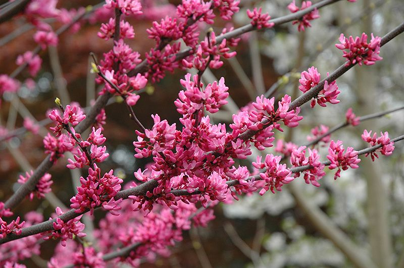 Click to view full-size photo of Appalachian Red Redbud (Cercis canadensis 'Appalachian Red') at Oakland Nurseries Inc