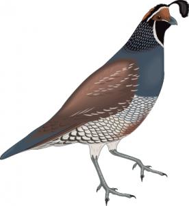 pin by saeid nourizadeh on california rug pinterest quails and rh pinterest co uk quail clip art black white quail clipart images