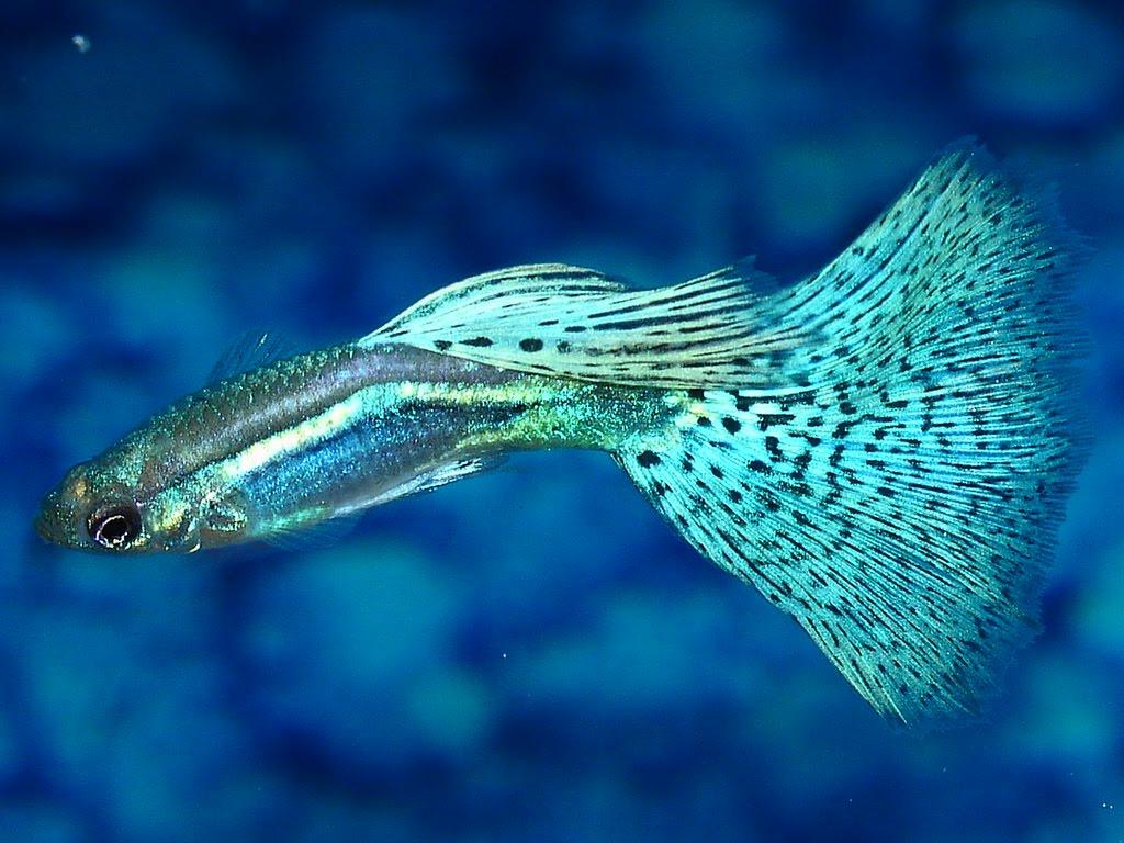 Freshwater aquarium fish neon - Fish