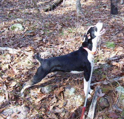 Squirrel Hunting Squirrel Hunting Mountain Feist Dogs