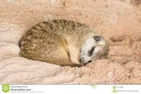 Image result for meerkats lying flat on their stomach