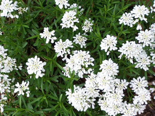 Perennial Candytuft The Perfect Border Or Edging Plant Blooms Tiny White Flowers In Early Spring And St Edging Plants Tiny White Flowers Potted Plants Outdoor