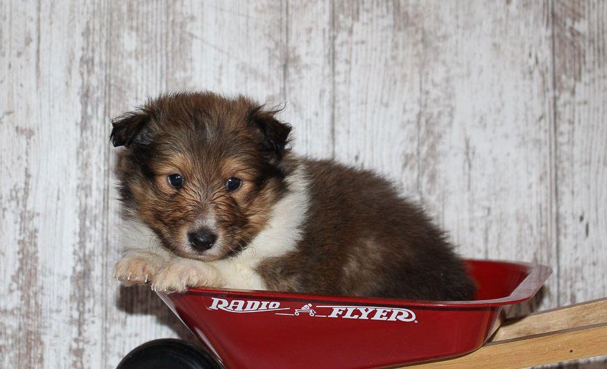 Duke An Akc Australian Shepherd Puppy For Sale In Grabill In I