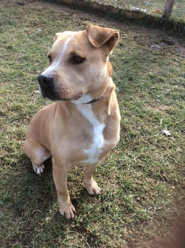 Adopt Romeo on Dogs, Animals, Labrador retriever