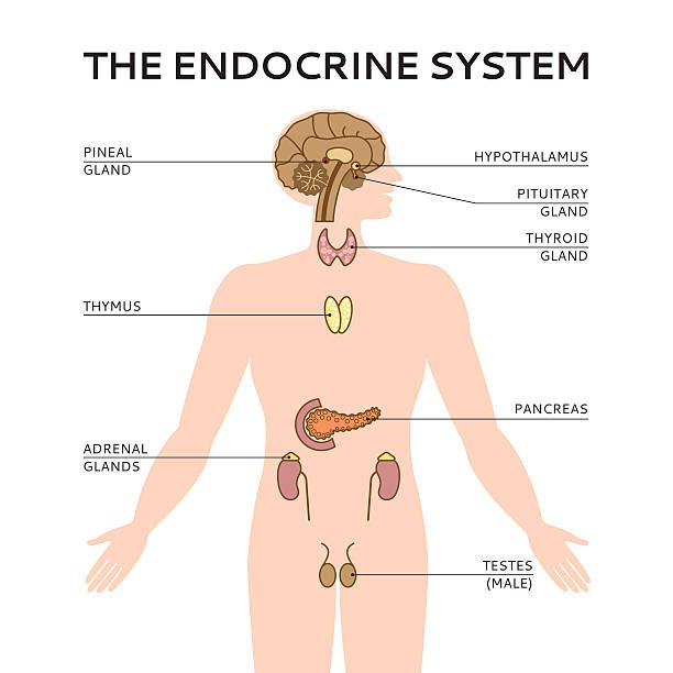 Schematic colorful vector illustration of endocrine system ...