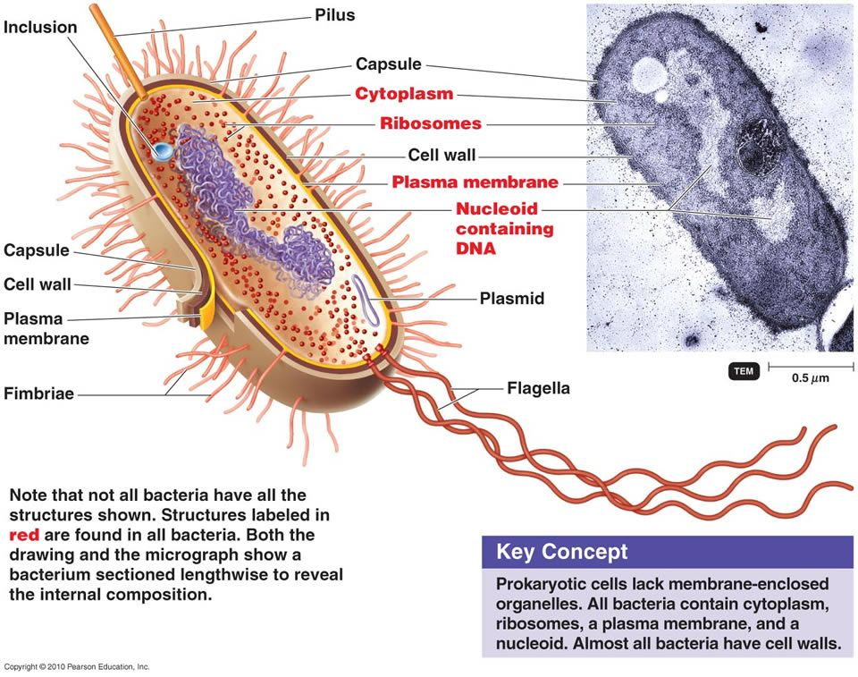Prokaryotic Cell (Bacterium): Smaller - Simpler structure - DNA