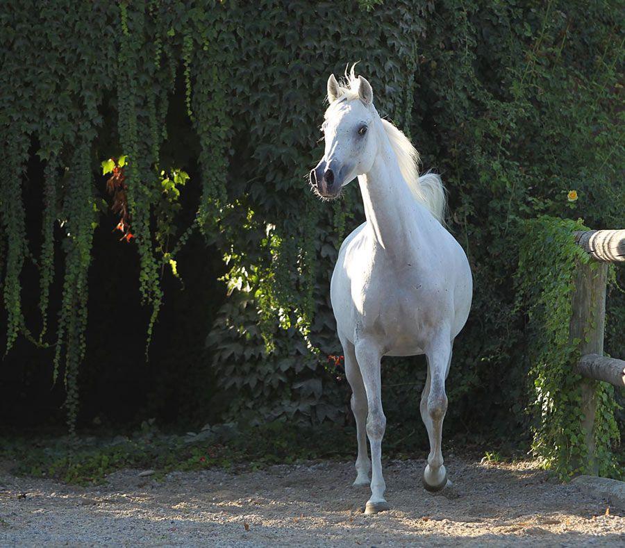 Arabian mare Serene Camilla