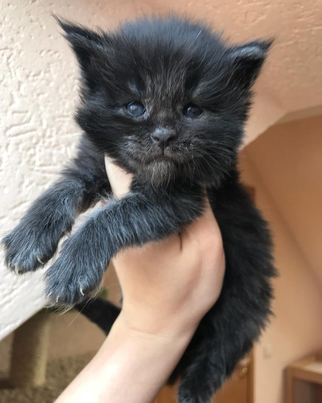 Black Smoke Boy Rembrandt With White Tip Of Tail 3 Weeks Old Pet Birds Kittens Cutest Cats And Kittens