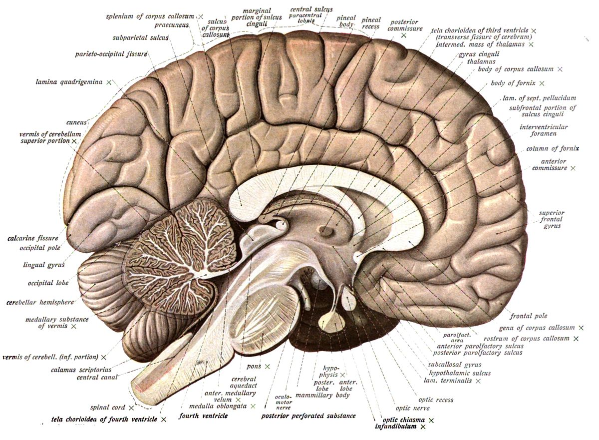 Labeled Diagram Of The Human Brain Human Anatomy Drawing