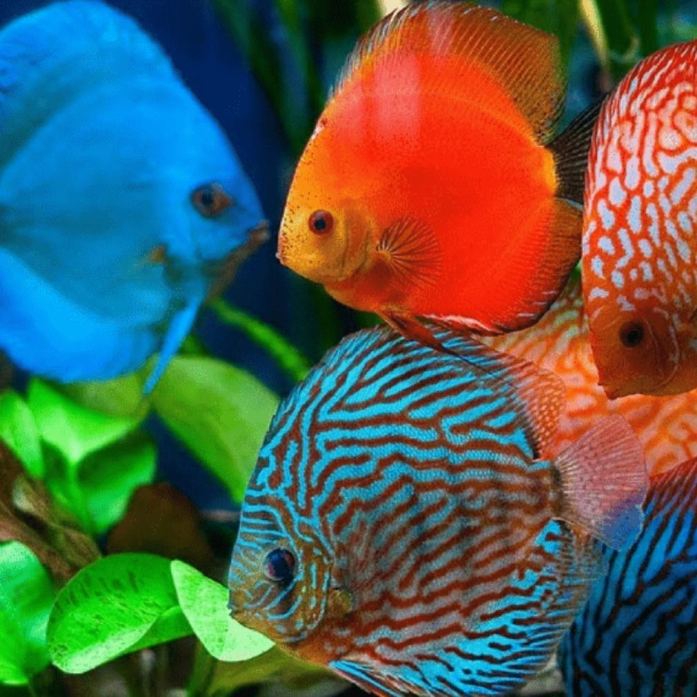 Pin Di Ikan Discus