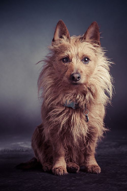 Pin by T Zak on Adorable Animals Australian terrier