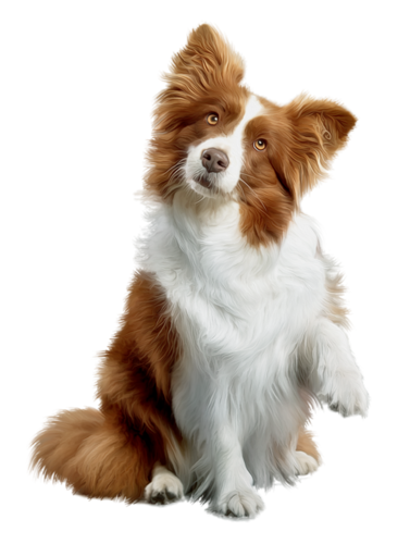 Download Border Collie Png Photos 049 Free Transparent Png Images Icons And Clip Arts Collie Border Collie Border
