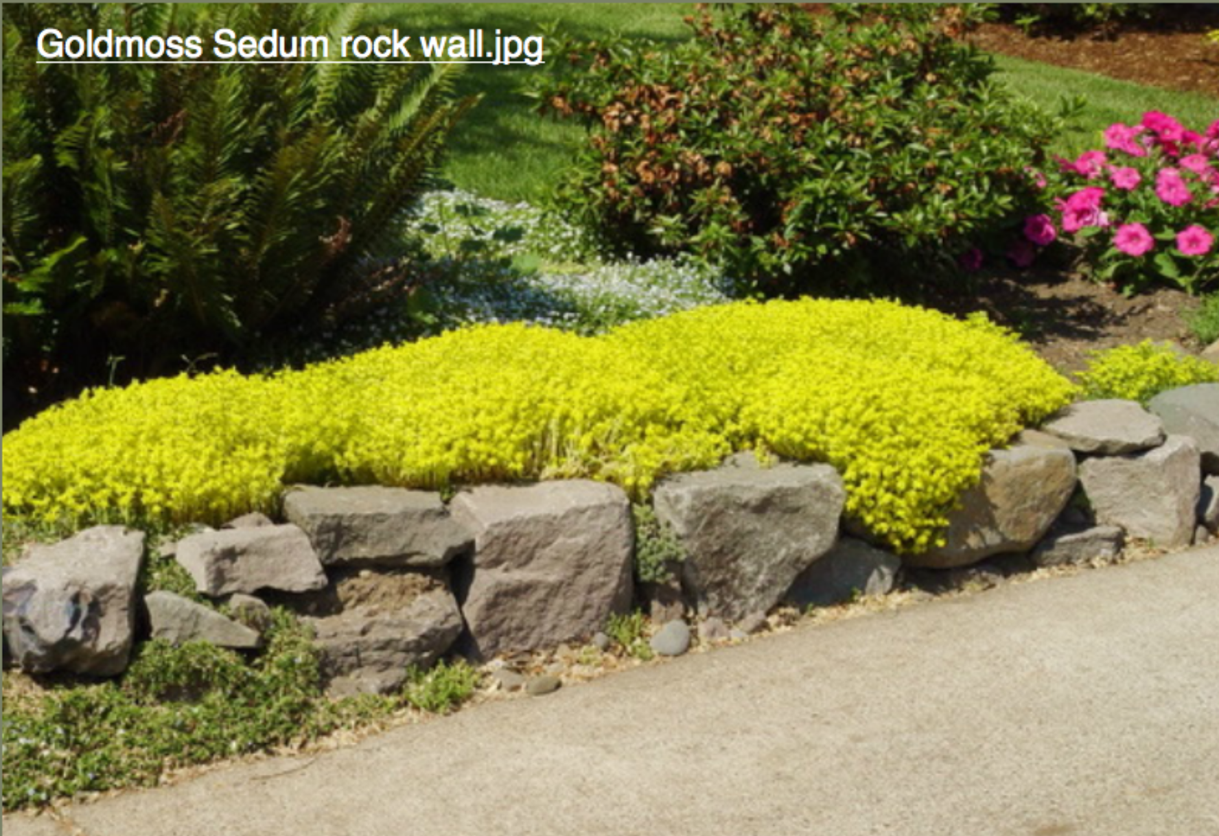 retaining wall with planting: gold moss sedum | House - garden ...