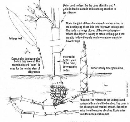 How To Plant And Grow Bamboo Mother Earth News Shade Garden Plants Bamboo Plants Plants