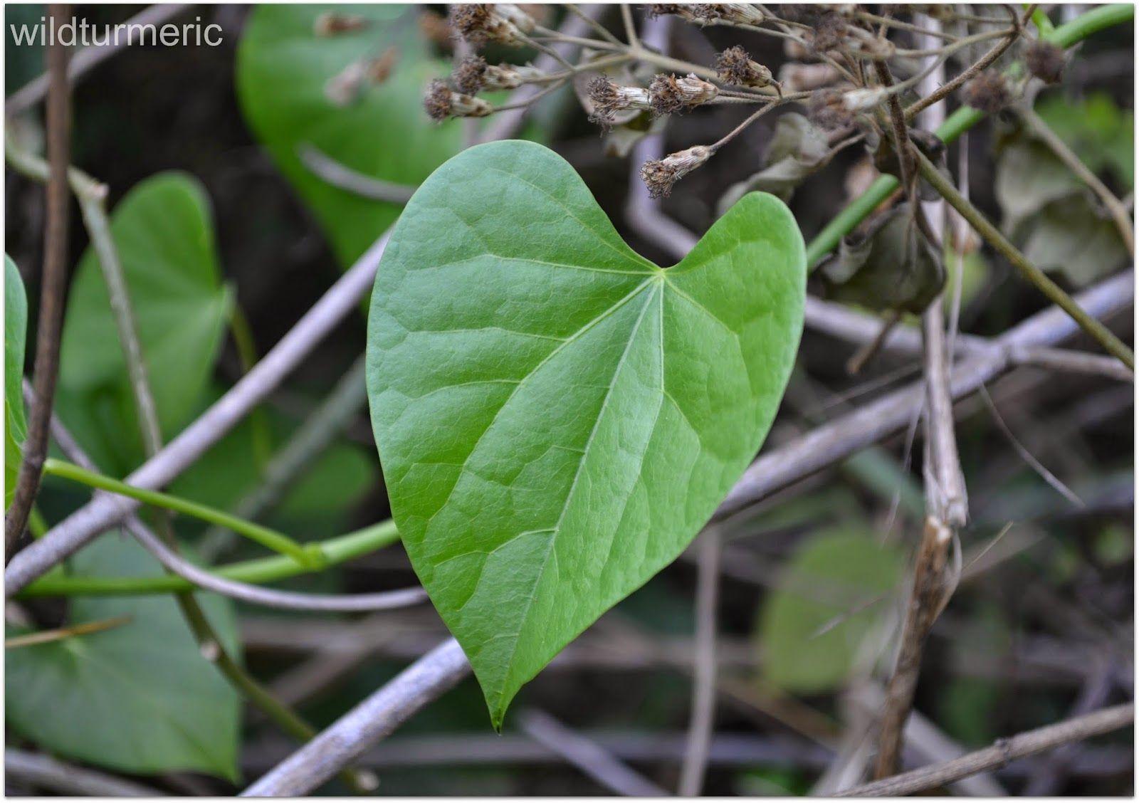 5 Top Benefits, Uses & Side Effects of Giloy (Guduchi | Bethel's