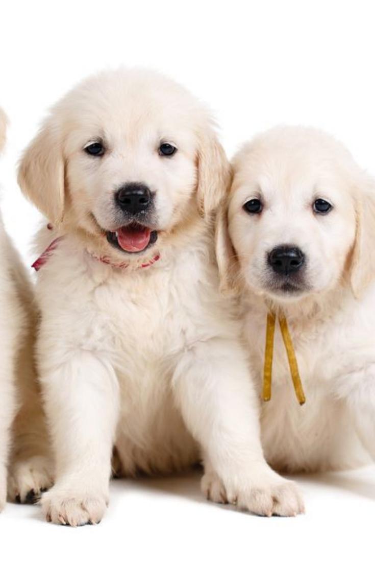 Three Small Cute Golden Retriever Puppy On White Background
