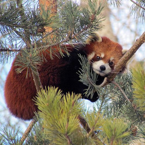 Distrubing My Nap Cute Animals Cute Animal Pictures Red Panda