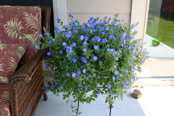 Blue Daze plant
