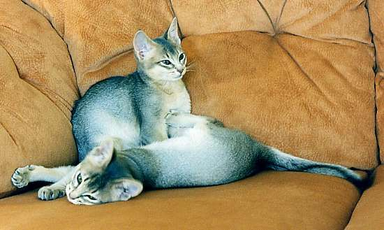 Abyssinian cat buy melbourne