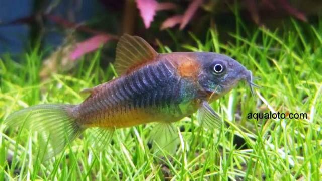 Corydora wertamani F-1, pez de acuario de aguas dulce.#acuarios #peces