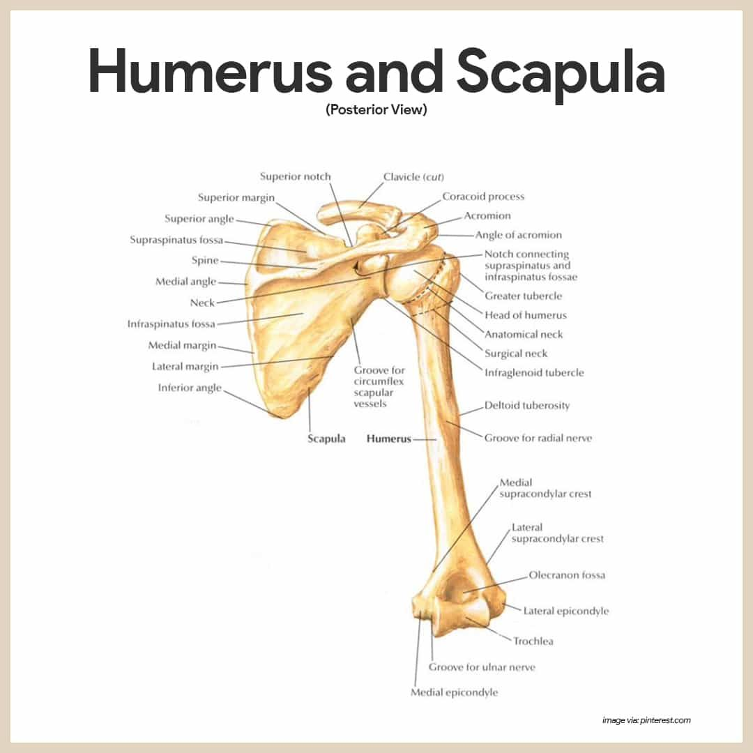 Skeletal System Anatomy and Physiology | Scapula, Anatomy and Medical