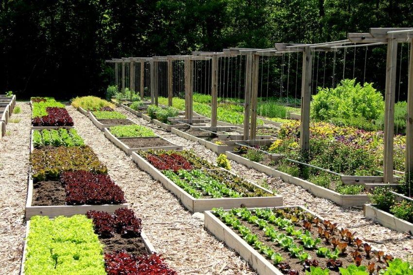 Дизайн огорода фото с посадками овощей