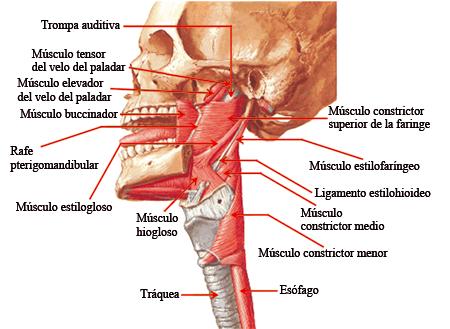 Fig. 5.40. Cabeza y cuello (vista lateral izquierda): músculos de la ...