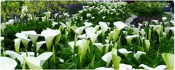 Image result for calla lilies