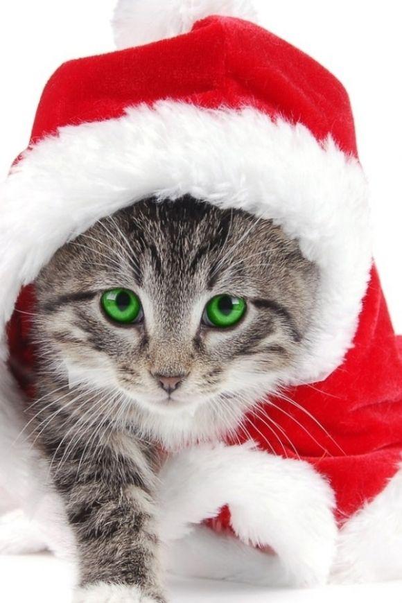 Santa Kitty Chats De Noel Fond D Ecran Chat Photos Animaux Rigolos