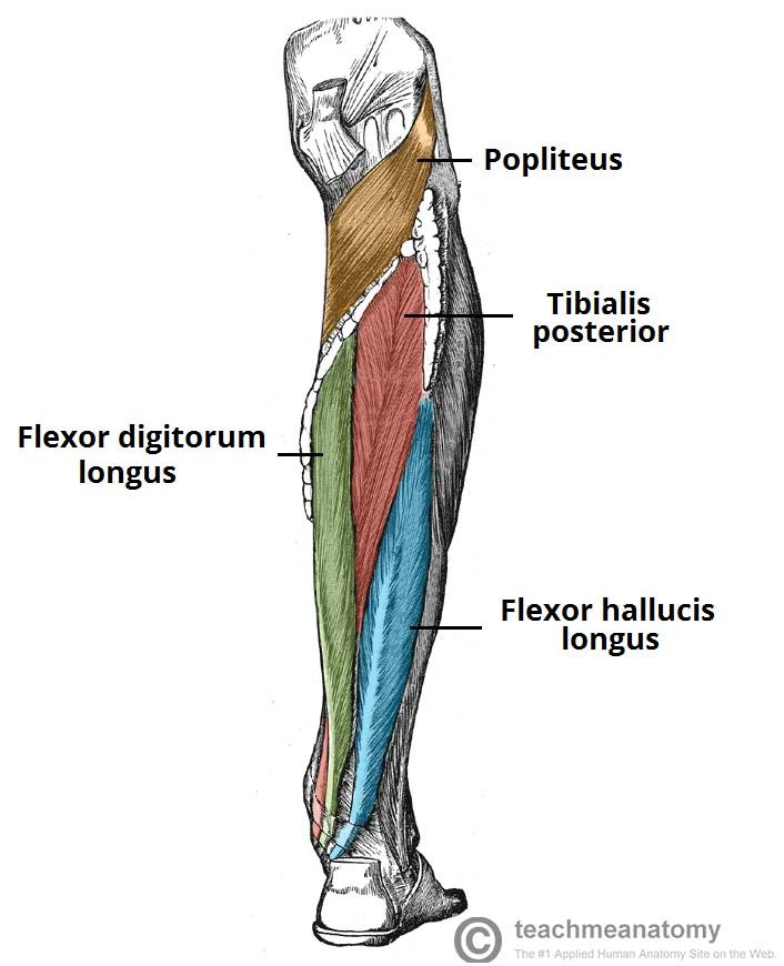 Image Result For Posterior Leg Muscles Massage Pinterest Muscles