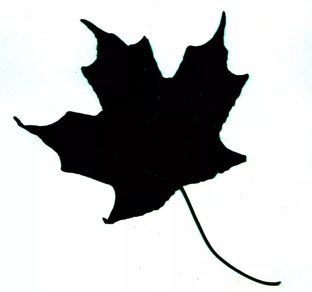 How To Identify A Tree With Leaf Silhouettes Leaf Silhouette Silhouette Pictures Silhouette