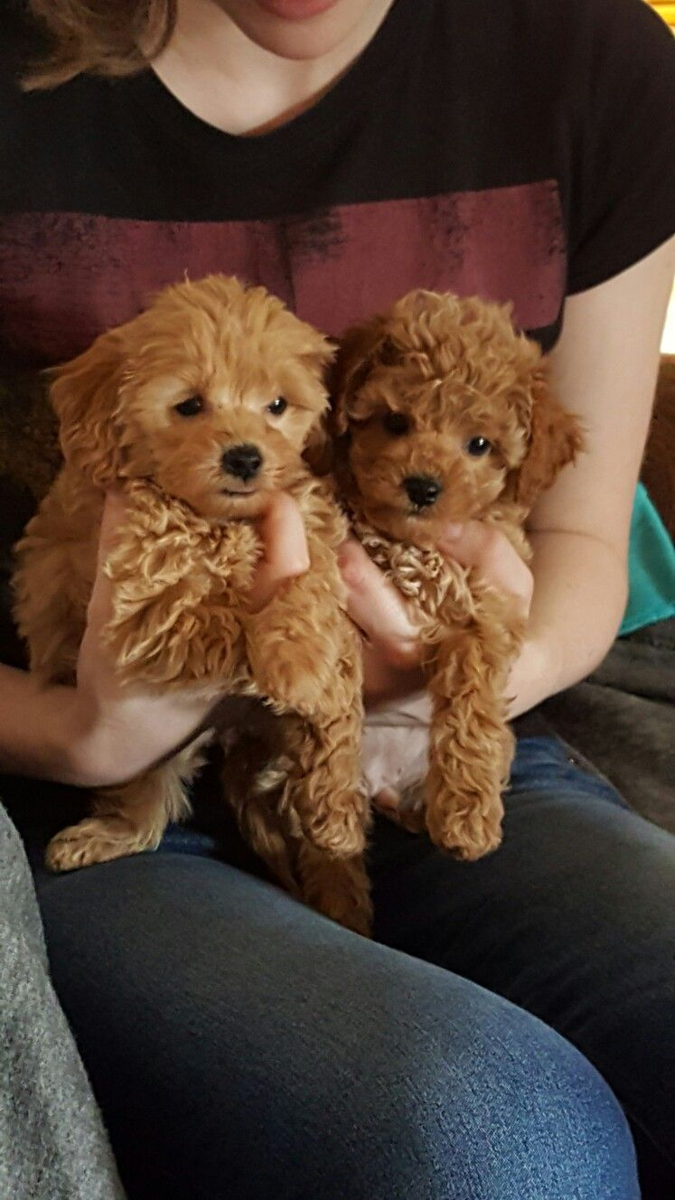 Pin by Petit Jean Puppies on Cavapoos Puppies, Dogs, Animals
