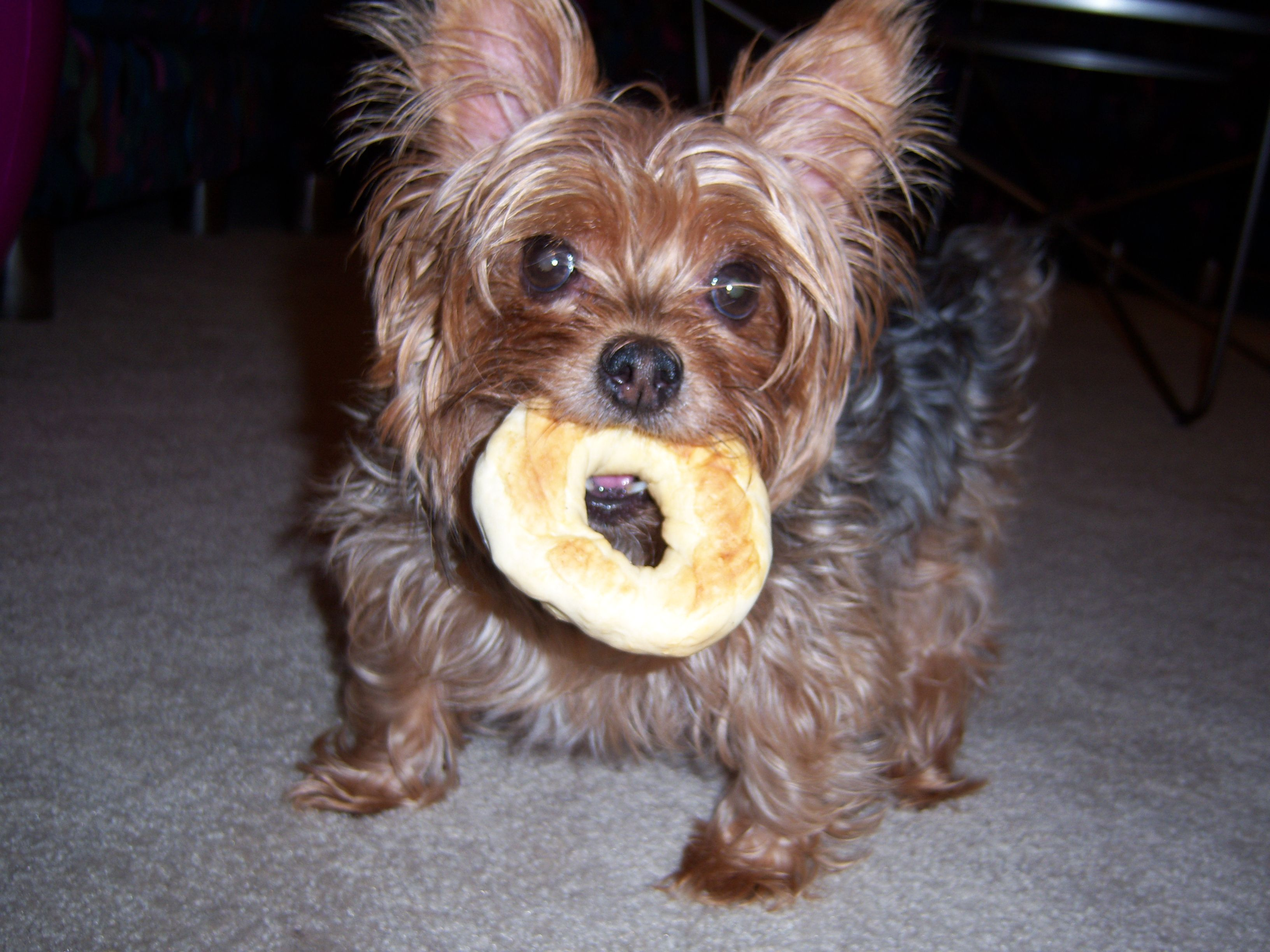 Yes Im A Teacup Yorkie And I Stole My Moms Bagel Yorkie Teacup Yorkie Yorkie Moms