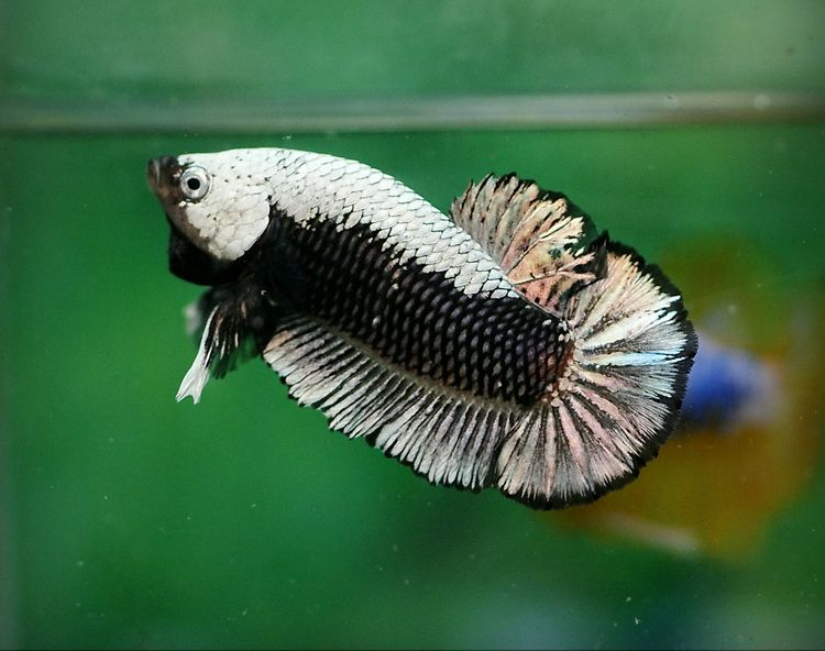 Is this a real betta betta fish and betta fish care for Betta fish friends