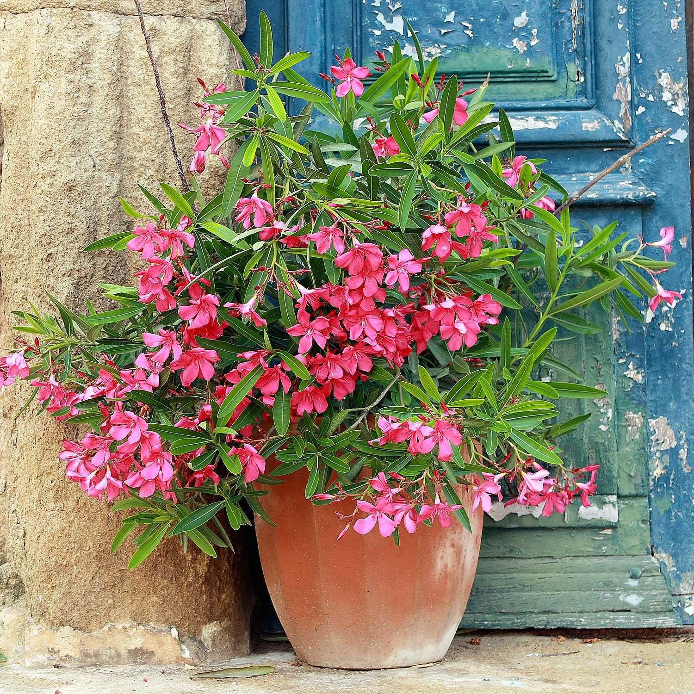 Stunning Mediterranean Flowering Oleander Collection