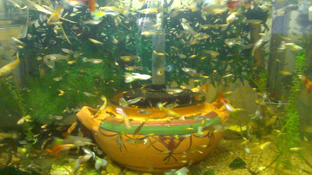 Guppy Fish Tank | How Guppies Fish Eat Watermelon Fish Tank Howto Make Design