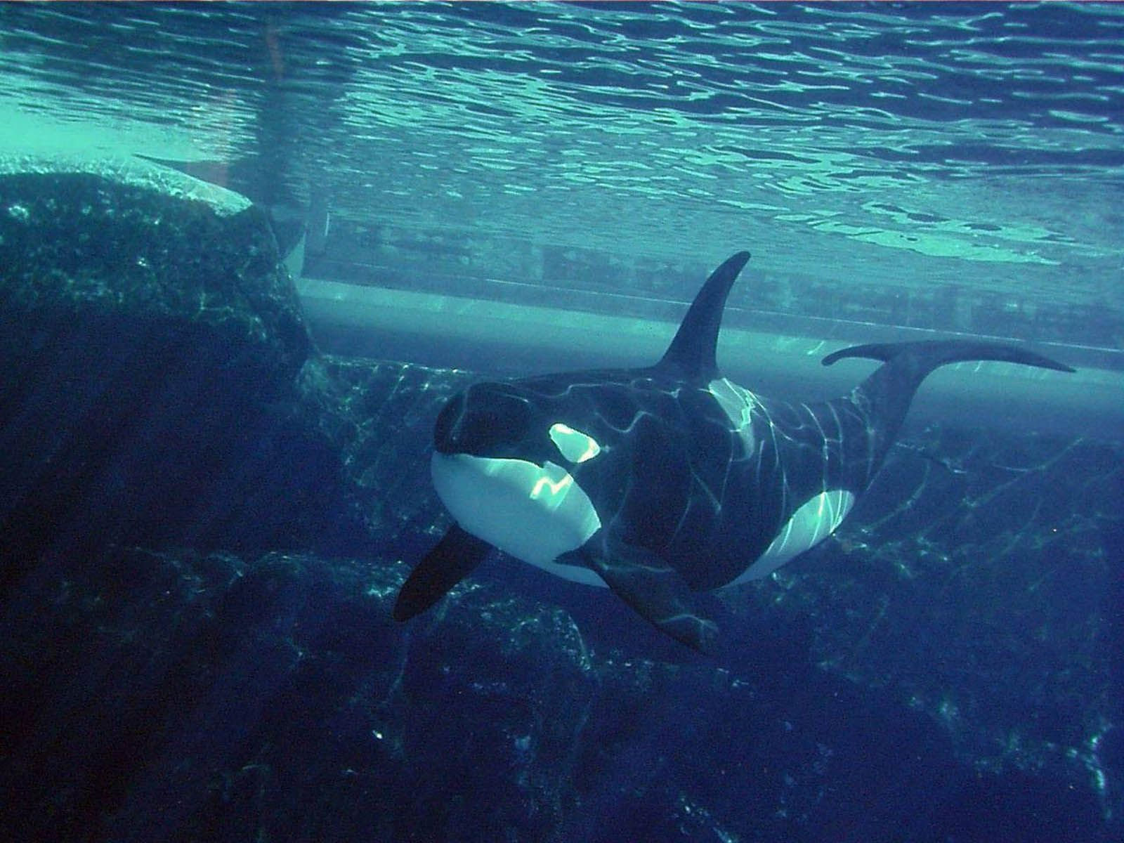 Wallpapers orca wallpapers killer whale pinterest orcas and wallpapers orca wallpapers altavistaventures Images