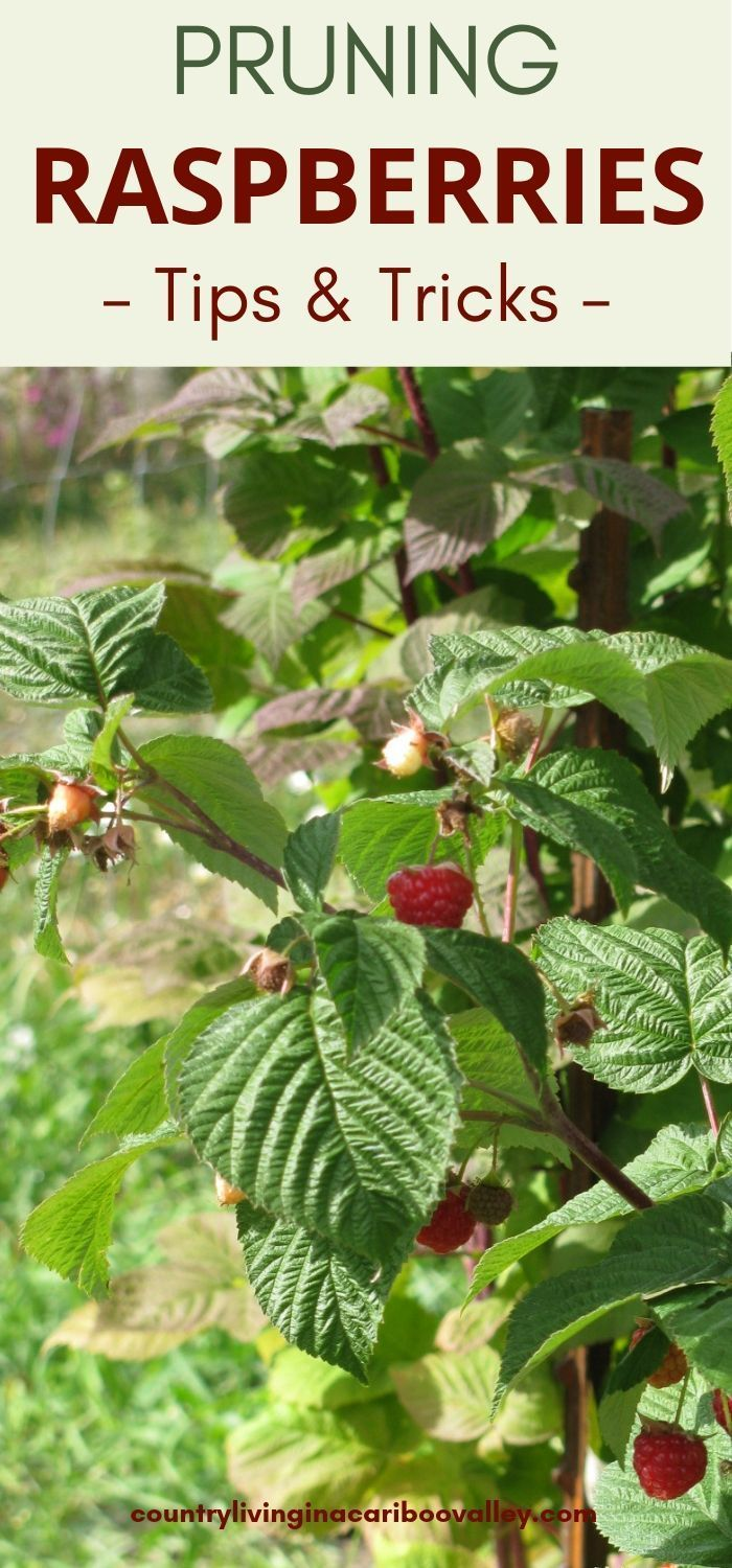 Photo of The Raspberry Patch Needs a Fall Cleanup – Prune Raspberry Plants