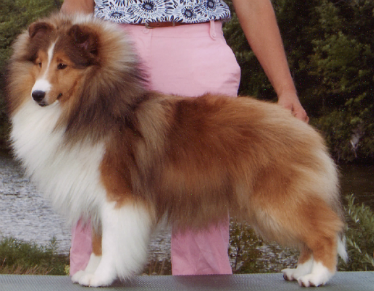 This Lovely 3 Yr Old Sable Male Is Available To The Perfect Pet Companion Home Must Come Visit If Interested We Do Sheltie Shetland Sheepdog Sheltie Breeders