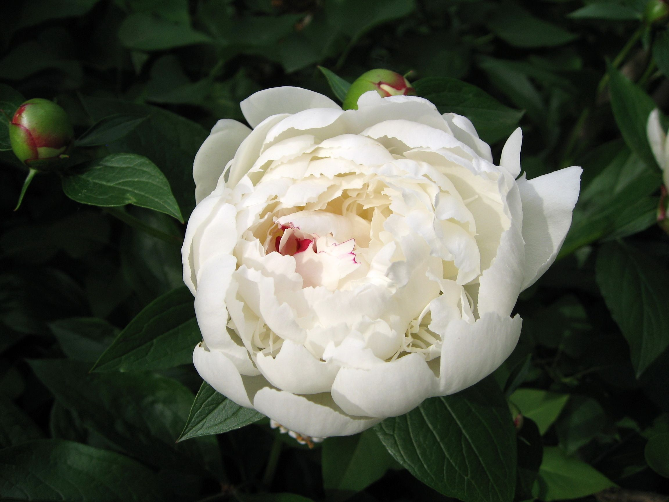 010 flowers white flowers white pinterest white peonies 010 flowers white mightylinksfo Image collections